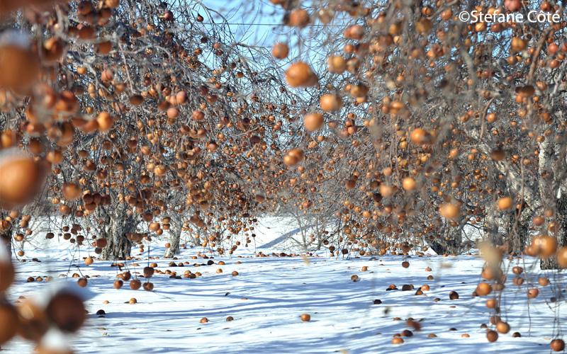 Les vergers Domaine Lafrance cueillette de pommes en hiver | Blog Montreal Addicts