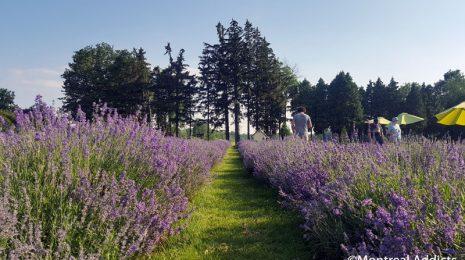Floraison des champs de la Maison Lavande