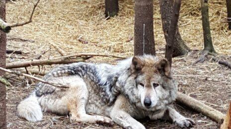 magnifique loup au refuge Pageau