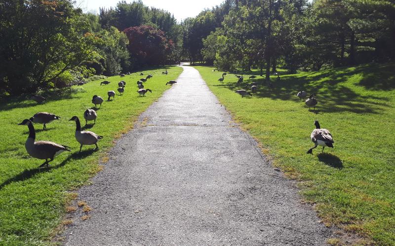 Bernaches au parc Angrignon